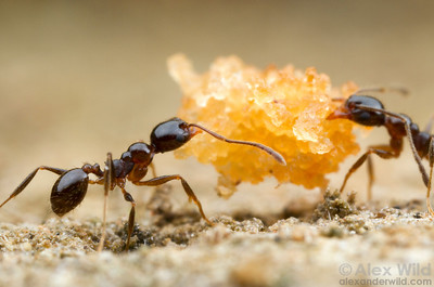 Pheidole vafra minor workers cooperate to carry a piece of cookie I used to bait them out of their nest.  Morretes, Paraná, Brazil