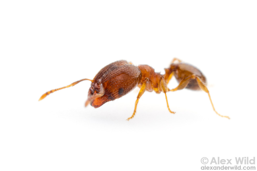 Pheidole dentigula major worker.  Gainesville, Florida, USA