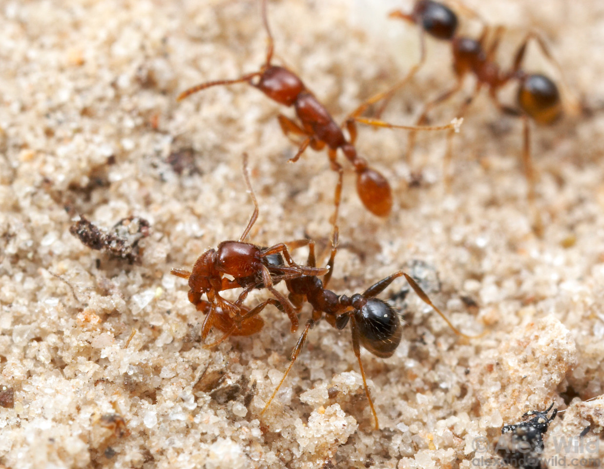 Army ants (red) raid a nest of Pheidole dentata (black) in south Texas. Notice the Pheidole worker in the background absconding with a pupa.  One of the premier defenses of Pheidole against their army ant predators is rapid nest evacuation, carrying as many larvae and pupae as they can manage.   Smithville, Texas, USA