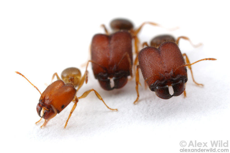 Pheidole tepicana is a seed-harvesting species from North America that is unusual in having three physical worker morphs. Here is major worker with two supermajors.  Arizona, USA