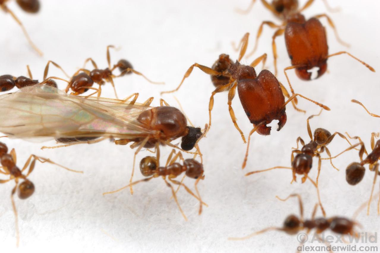 Pheidole tepicana male with major and minor workers in a laboratory colony.  Arizona, USA