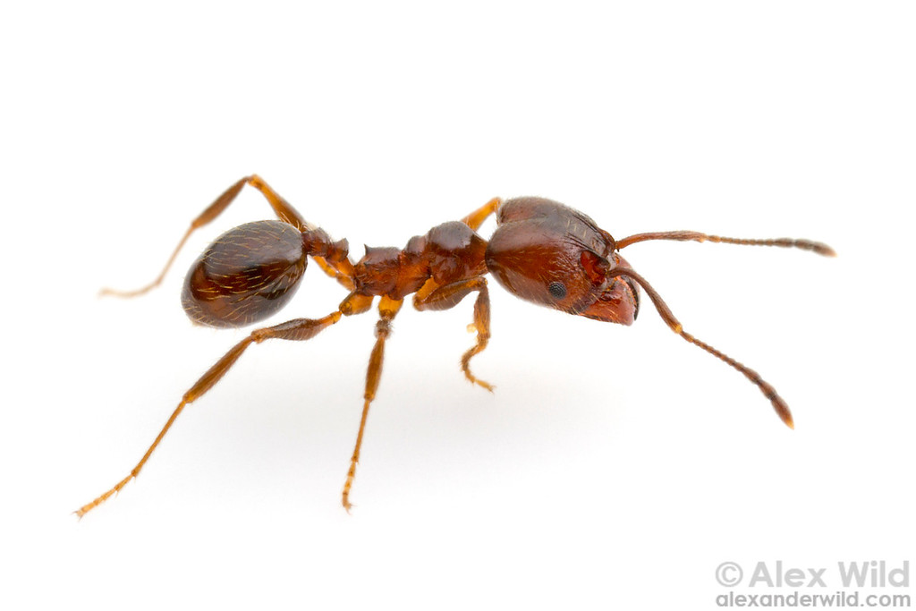 Portrait of a Pheidole vafra major worker. This species is among the most widespread in Central & South America, and its affinity for disturbed habitats suggests it may have been dispersed by human activity.  Morretes, Paraná, Brazil