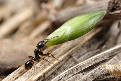 A minor worker of Pheidole aberrans, a small but ambitious South American harvester ant, lugs a grass seed to her nest.  Correa, Santa Fe, Argentina