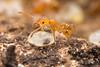 Pheidole floridana