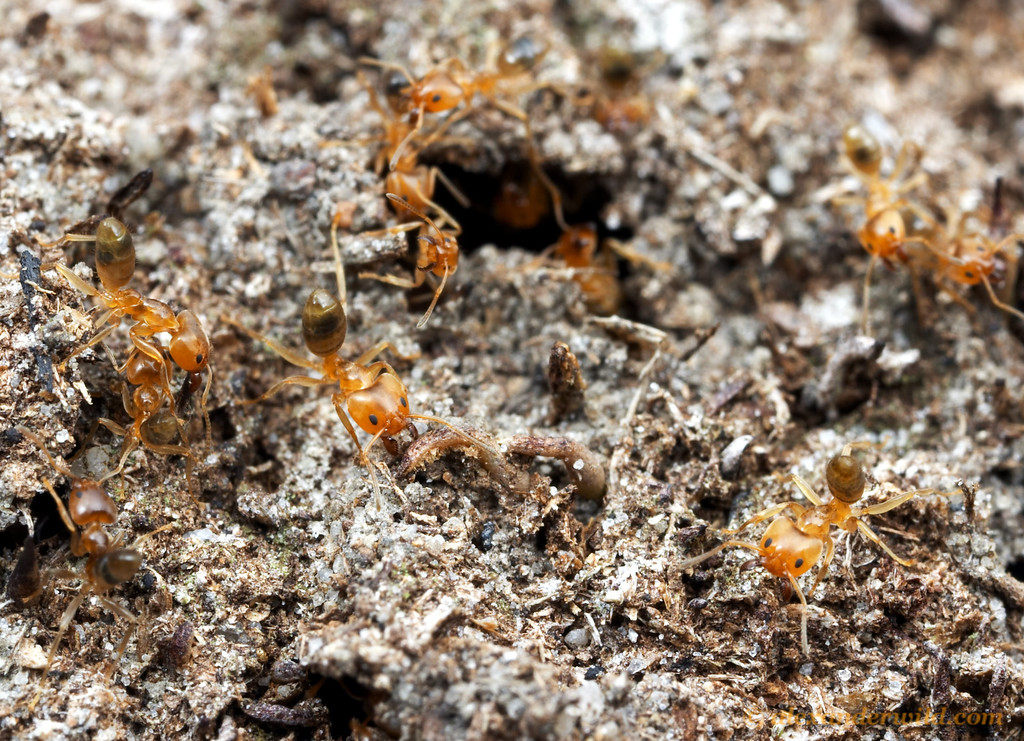 Philidris ants spill forth from a breach in their Myrmecodia host plant.  Iron Range National Park, Queensland, Australia