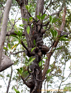 A cluster of epiphytic Myrmecodia ant-plants in an Australian woodland.  The swollen base of Myrmecodia is hollow, with an intricate gallery of chambers that house aggressive Philidris ants.  The ants defend the plant and provide the plant with nutrients.  Iron Range National Park, Queensland, Australia