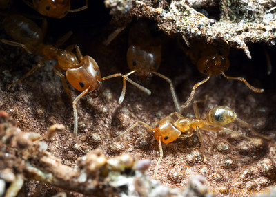 Philidris ants at the entrance to their nest in a Myrmecodia host plant.  Iron Range National Park, Queensland, Australia