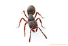 Phrynoponera : Phrynoponerais a tropical African genus of ponerine hunting ants. Little is known of their biology.
