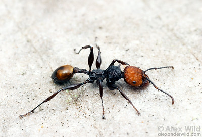 Podomyrma gastralis, found in New Guinea and Northern Australia, is a large, brightly colored arboreal ant.  Iron Range National Park, Queensland, Australia