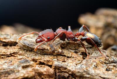 Podomyrma adelaidae worker foraging on a tree branch.  Yandoit, Victoria, Australia