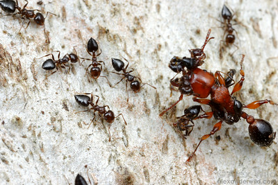 A large Podomyrma gratiosa tree ant attacks a column of smaller Crematogaster workers that pass too close to her nest.  The Crematogaster fight back, and even though the large size and heavy armor of the Podomyrma allow it a one-on-one advantage, the superior numbers of Crematogaster give the smaller ants the edge in this fight.  Naracoorte, South Australia