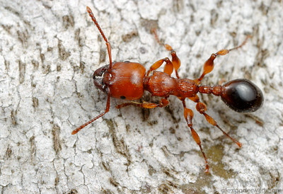 A Podomyrma gratiosa worker forages on a tree trunk.  These large ants are almost exclusively arboreal, and their swollen legs contain muscles to help them grip the bark firmly.  Naracoorte, South Australia