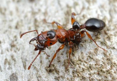 Podomyrma gratiosa fighting with Crematogaster.  Naracoorte, South Australia