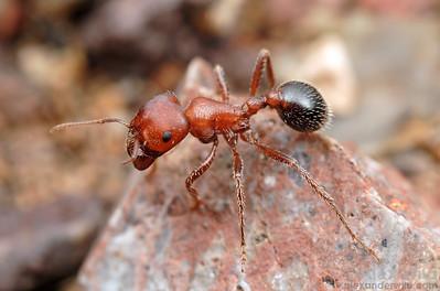 Pogonomyrmex bicolor  Tucson, Arizona, USA