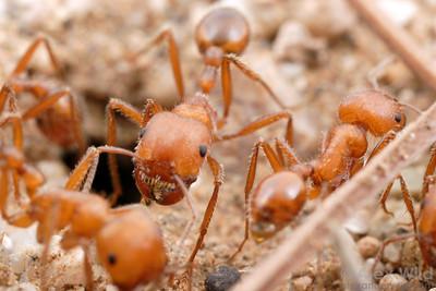 Pogonomyrmex maricopa  Tucson, Arizona, USA