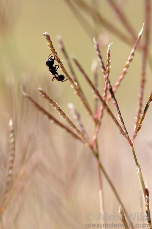 Pogonomyrmex rugosus, harvester ant worker cutting grass seeds off the stalk.  Tucson, Arizona, USA