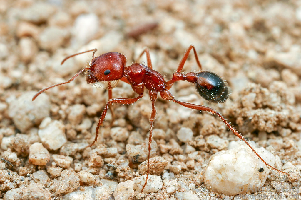 Pogonomyrmex californicus, the California harvester ant  Mojave National Preserve, California, USA
