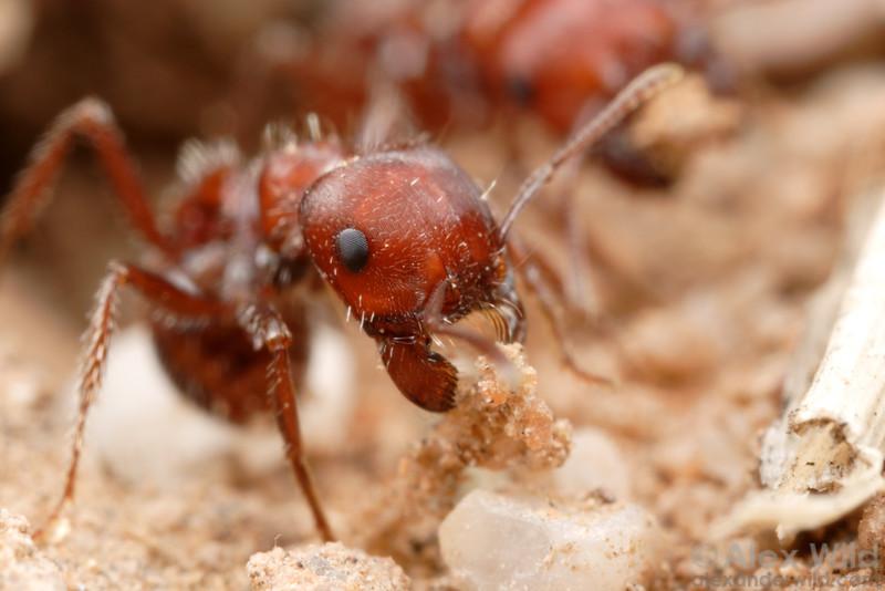 Pogonomyrmex desertorum  Tucson, Arizona, USA