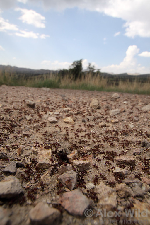 At the busy nest entrance of a red harvester ant colony, Pogonomyrmex barbatus.  Sycamore Canyon, Arizona, USA