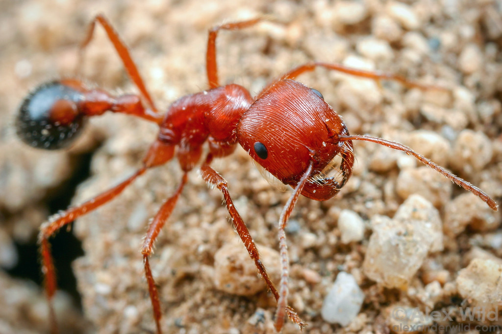 Pogonomyrmex californicus, the California harvester ant, standing guard at the nest entrance.  Mojave National Preserve, California, USA