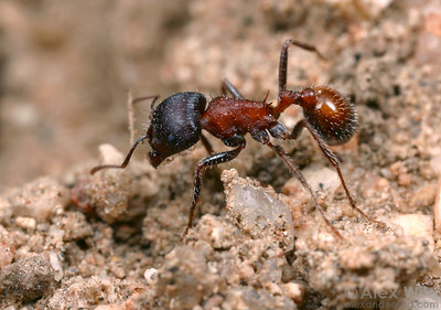 A worker Pogonomyrmex rugosus, the rough harvester ant.  This beautiful ant is a common species in deserts of southwestern North America, varying in color from red-black to nearly all black.  Mojave National Preserve, California, USA