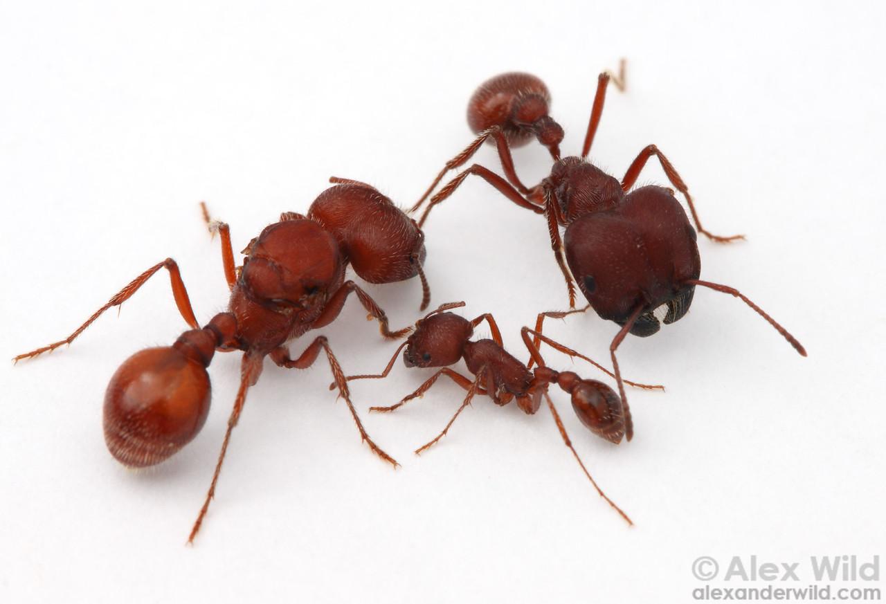 Three female morphological castes in the Florida harvester ant Pogonomyrmex badius: queen (left), major worker (top), and minor worker (bottom).  Archbold Biological Station, Florida, USA