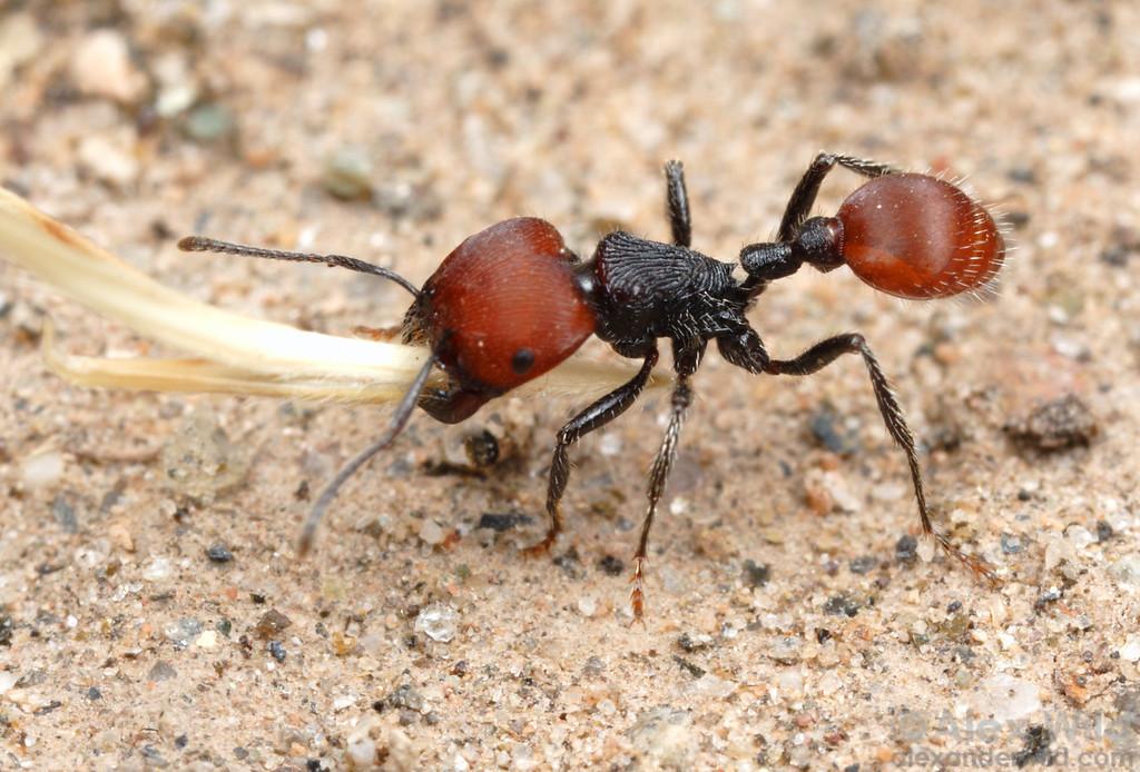 Pogonomyrmex rastratus  Amaicha del Valle, Tucumán, Argentina