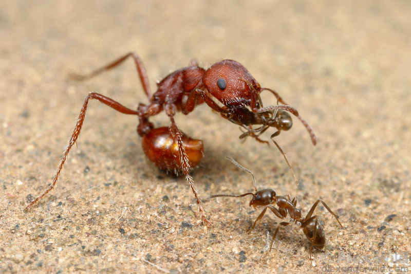 Pogonomyrmex subdentatus & Linepithema humile