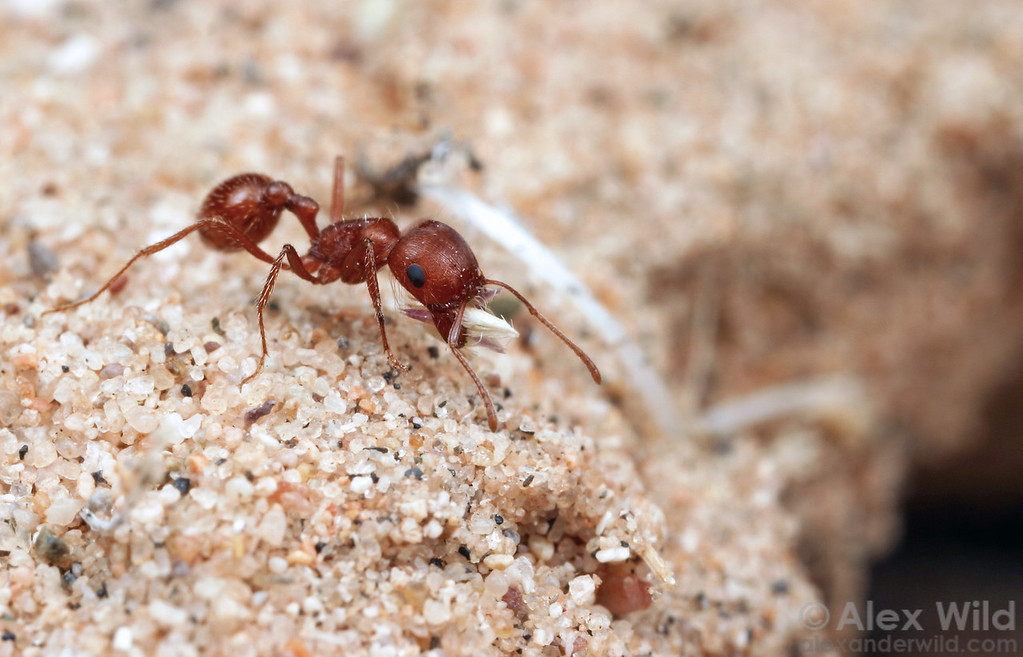 A Pogonomyrmex magnacanthus forager brings a seed back to her nest.  Mojave desert, California, USA