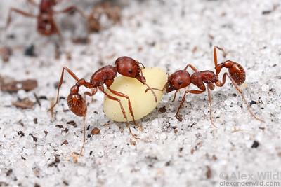 Pogonomyrmex badius, the Florida harvester ant  Archbold Biological Station, Florida, USA