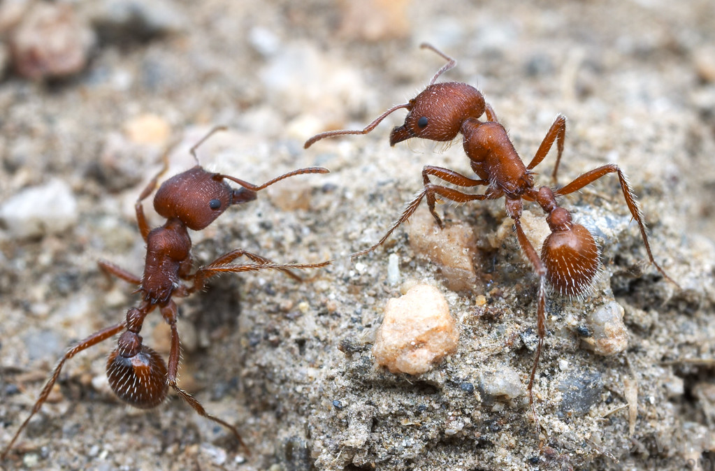 Pogonomyrmex occidentalis, the western harvester ant  Hallelujah Junction, California, USA