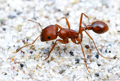 Among the most conspicuous North American seed harvesting ants is Pogonomyrmex californicus. Companies that sell Ant Farms as educational toys commonly use this species to stock their product, even though it packs a very painful sting.   Fallon, Nevada, USA