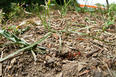 Polyergus mexicanus nest. Note the presence of both host (black) and parasite (red) workers.  Urbana, Illinois, USA