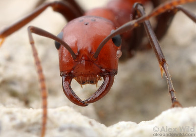 Polyergus montivagus. The sickle-shaped mandibles are ideal for carrying pupae stolen from colonies of the host species.  Champaign, Illinois, USA