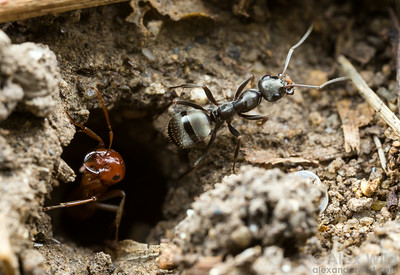 At the entrance of a Polyergus mexicanus kidnapper ant colony, a Formica subsericea worker carries excavated soil from the nest. The parasitic Polyergus workers do not perform those sorts of tasks.  Urbana, Illinois, USA