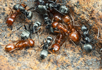 A dulotic colony of the kidnapper ant Polyergus mexicanus and its host, the silver field ant Formica argentea.    California, USA