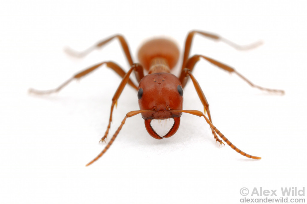Polyergus mexicanus is a common parasite of the field ant Formica subsericea in central North America.