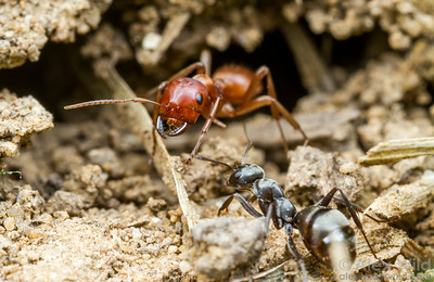 Nests of parasitic Polyergus mexicanus ants are externally indistinguishable from regular, non-parasitized colonies of the host species Formica subsericea. Until late afternoon, that is, when the large red ants emerge for a raid.  Urbana, Illinois, USA