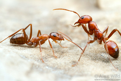 Formica incerta field ant (left) with a social parasite, the kidnapper ant Polyergus lucidus.  East Brooklyn, Illinois, USA