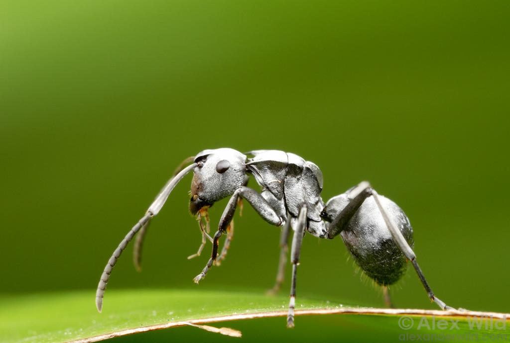 Polyrhachis schlueteri  St. Lucia, KZN, South Africa