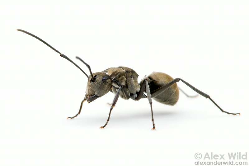 Polyrhachis foreli