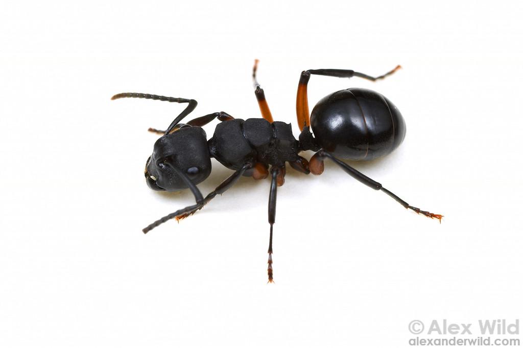 Polyrhachis (Campomyrma) sp.  Yandoit, Victoria, Australia
