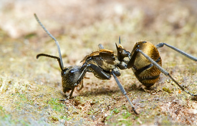 When threatened, a Polyrhachis militaris worker hunkers down with her protective spines thrust upward.  Kibale forest, Uganda