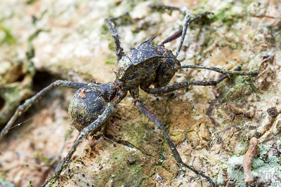 A long-dead carcass of a Polyrhachis militaris spiny ant gathers moss on a tree trunk.  Kibale forest, Uganda