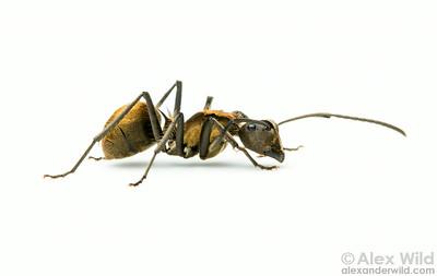 Polyrhachis militaris - golden spiny ant.  Kibale forest, Uganda