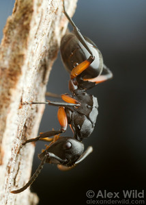 A Polyrhachis (Campomyrma) worker ant rides out a rain storm sheltering beneath  overhanging tree bark. A few water droplets are visible on the ant's body.  Bright, Victoria, Australia