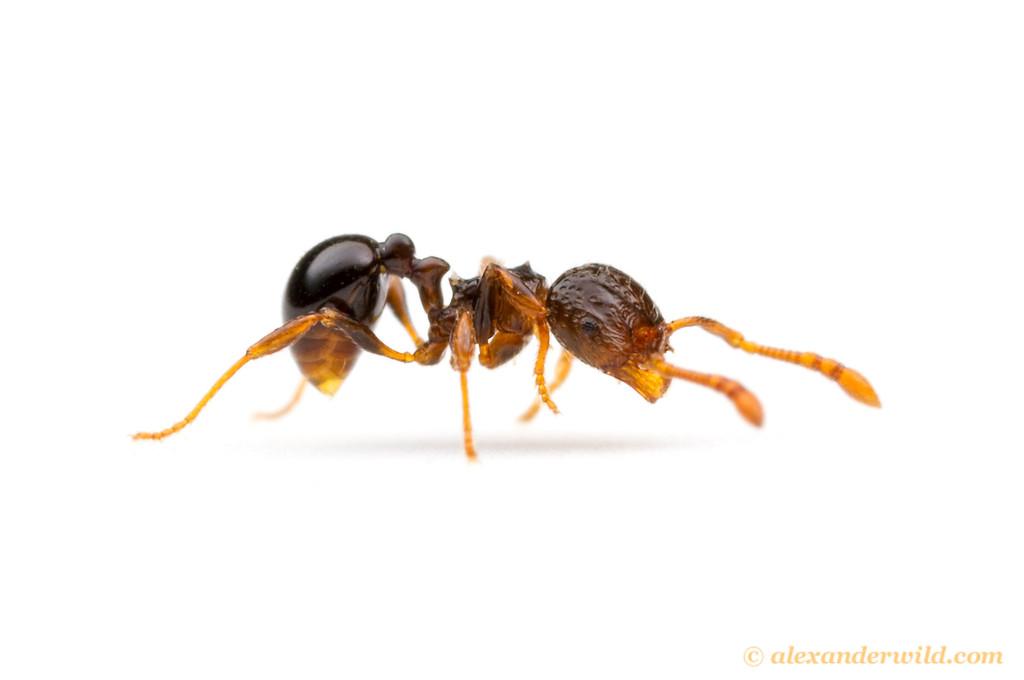 Pristomyrmex africanus