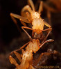Proatta : Proatta is a southeast Asian myrmicine genus with a single species, P. butteli. The appearance of Proatta is superficially similar to the new world fungus-growing ants, which has lead to disagreement among myrmecologists as to its evolutionary origins.