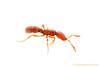 Portrait of a <i>Probolomyrmex</i> worker ant.  Kibale Forest, Uganda