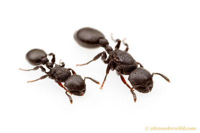 Procryptocerus hylaeus, worker (left) and queen.  Monte Verde, Minas Gerais, Brazil